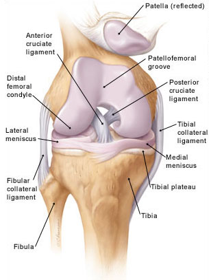 Knee Ligaments Human Anatomy
